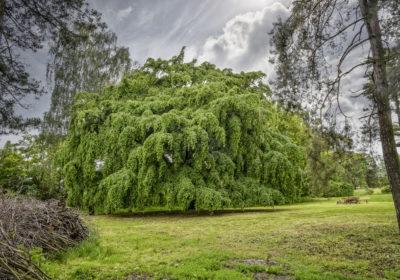 Přílepský habr – bude stromem roku?